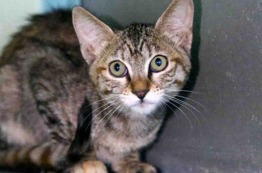 נורה – חתולה לאימוץ – אגודת צער בעלי חיים בישראל