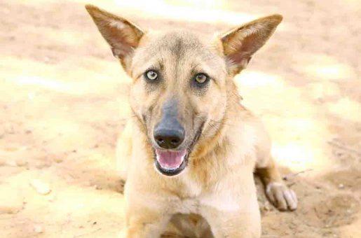 פינוקיו – כלבה לאימוץ – אגודת צער בעלי חיים בישראל