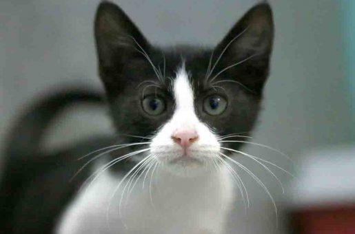 מיה – חתולה לאימוץ – אגודת צער בעלי חיים ישראל