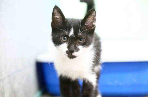 מקס – חתול לאימוץ – אגודת צער בעלי חיים בישראל