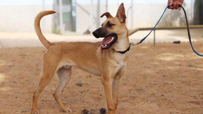 בגין – כלב לאימוץ – אגודת צער בעלי חיים בישראל