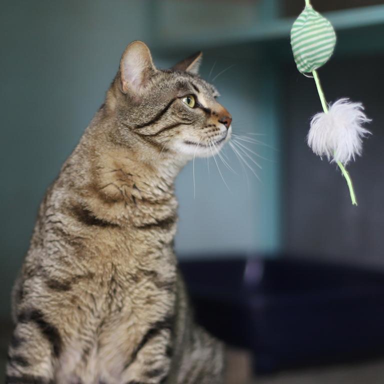 גאטו - חתול לאימוץ - אגודת צער בעלי חיים בישראל