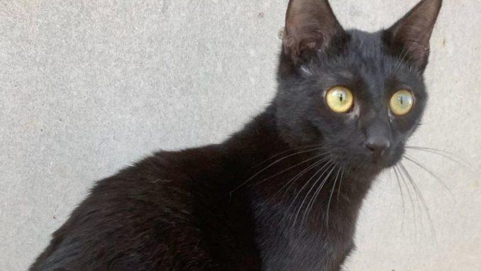 לולה – חתולה לאימוץ – אגודת צער בעלי חיים בישראל