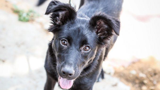 ליידי - כלבה לאימוץ - אגודת צער בעלי חיים בישראל