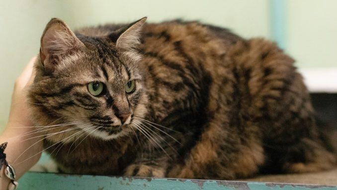 מורנה – חתולה לאימוץ – אגודת צער בעלי חיים בישראל