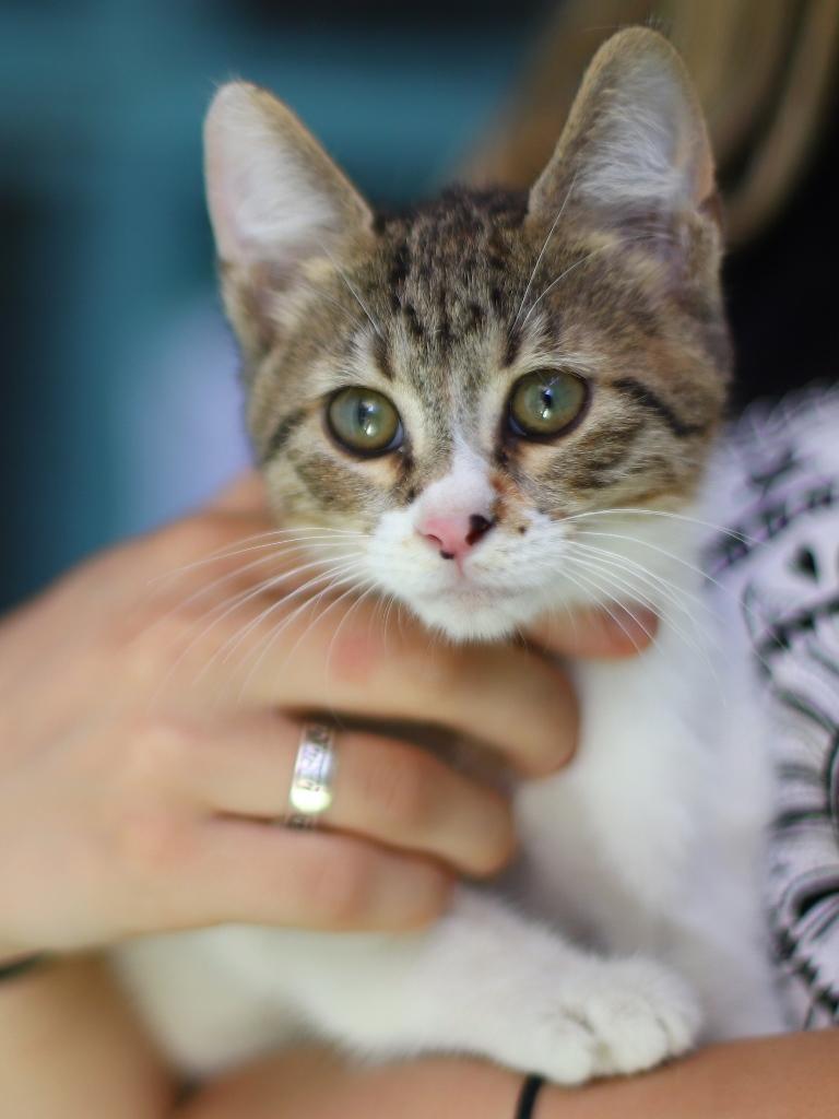 מילה – חתולה לאימוץ – אגודת צער בעלי חיים בישראל