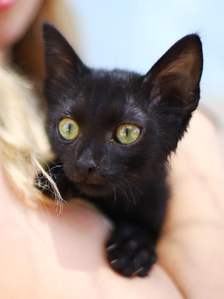שחוריק – חתול לאימוץ – אגודת צער בעלי חיים בישראל