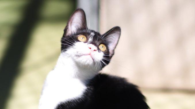 דמקה - חתולה לאימוץ - אגודת צער בעלי חיים בישראל