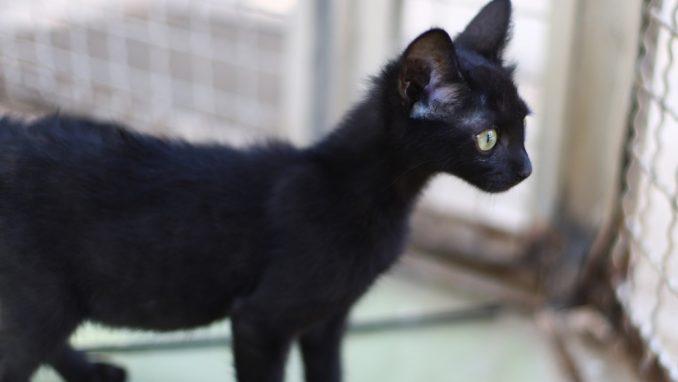 שחוריק - חתול לאימוץ - אגודת צער בעלי חיים בישראל
