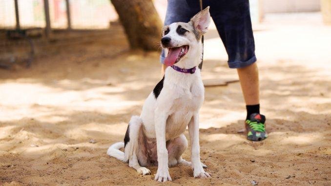 אהובה – כלבה לאימוץ – אגודת צער בעלי חיים בישראל