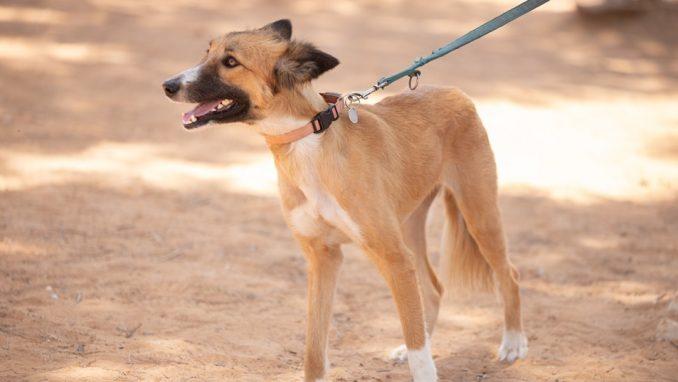 בטא-לי – כלבה לאימוץ – אגודת צער בעלי חיים בישראל