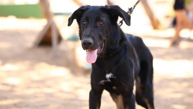חבר - כלב לאימוץ - אגודת צער בעלי חיים בישראל