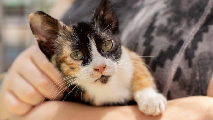 ליזי – חתולה לאימוץ – אגודת צער בעלי חיים בישראל