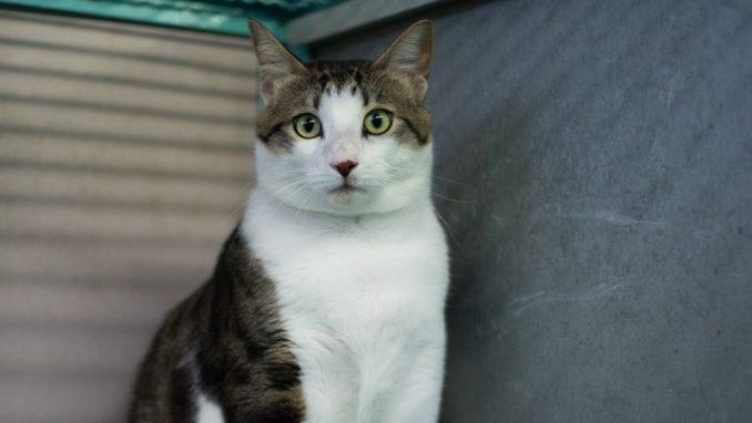 מרסיק – חתול לאימוץ – אגודת צער בעלי חיים בישראל