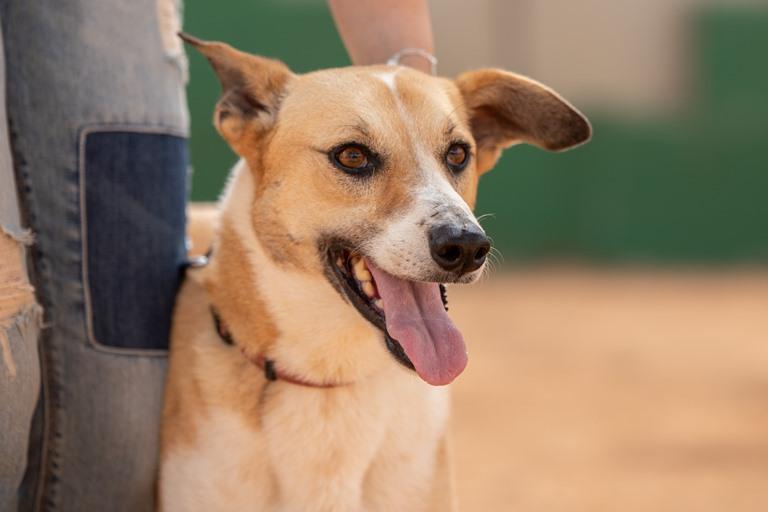 ציקיטה - כלבה לאימוץ - אגודת צער בעלי חיים בישראל