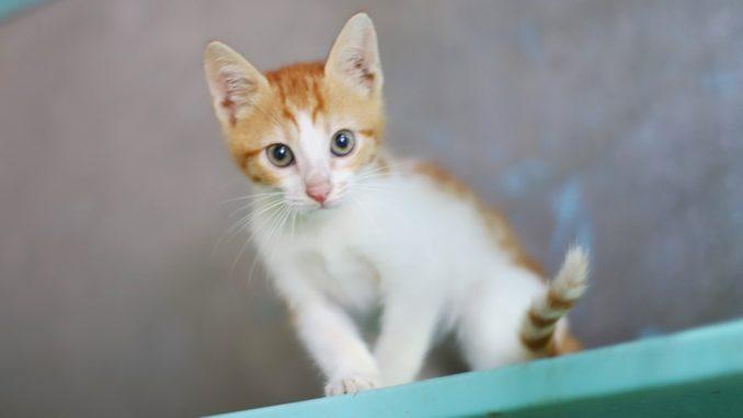 סוניק – חתולה לאימוץ – אגודת צער בעלי חיים בישראל