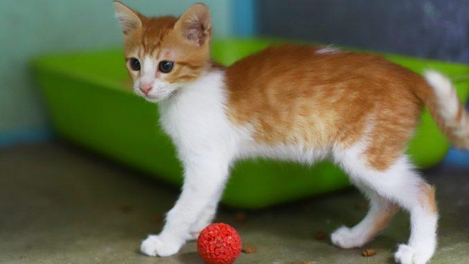 בועז – חתול לאימוץ – אגודת צער בעלי חיים בישראל