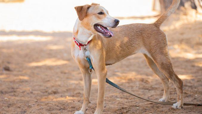 ג'ינג'ר - כלבה לאימוץ - אגודת צער בעלי חיים בישראל