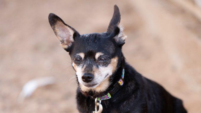 לולה - כלבה לאימוץ - אגודת צער בעלי חיים בישראל