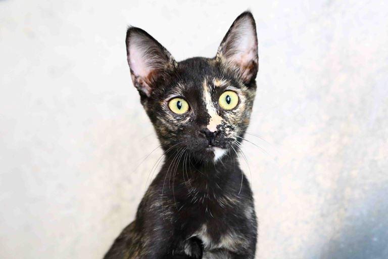 אלכסה - חתולה לאימוץ - אגודת צער בעלי חיים בישראל
