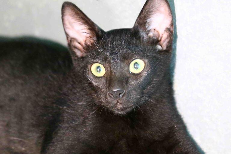 בים - חתול לאימוץ - אגודת צער בעלי חיים בישראל