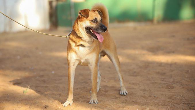 חץ - כלב לאימוץ - אגודת צער בעלי חיים בישראל