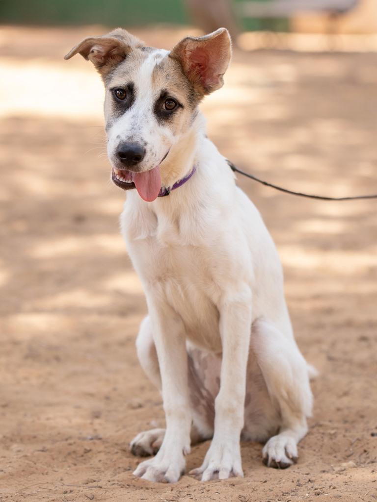 אהובה - כלבה לאימוץ - אגודת צער בעלי חיים בישראל