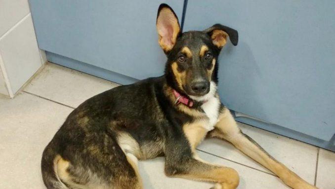גיא – כלב לאימוץ – אגודת צער בעלי חיים בישראל
