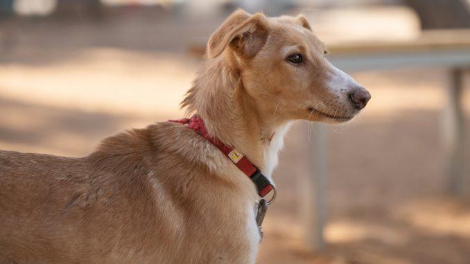כוכב – כלבה לאימוץ – אגודה צער בעלי חיים ישראל