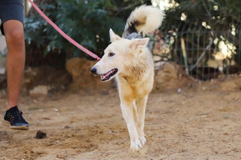 סבר - כלב לאימוץ - אגודת צער בעלי חיים בישראל