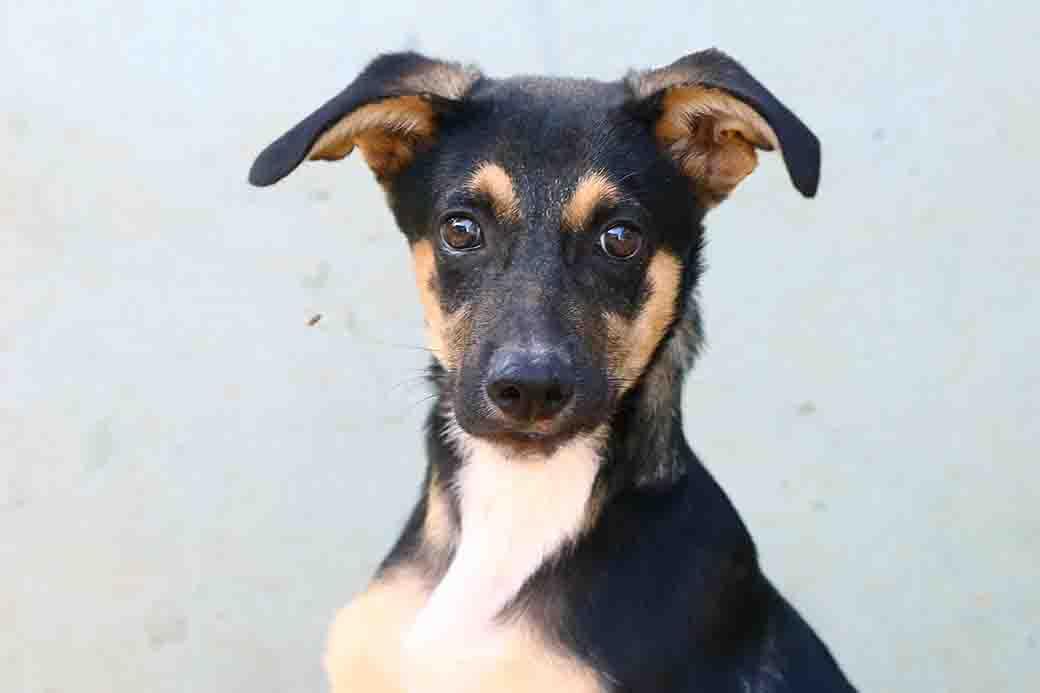 גיא - כלב לאימוץ - אגודת צער בעלי חיים בישראל