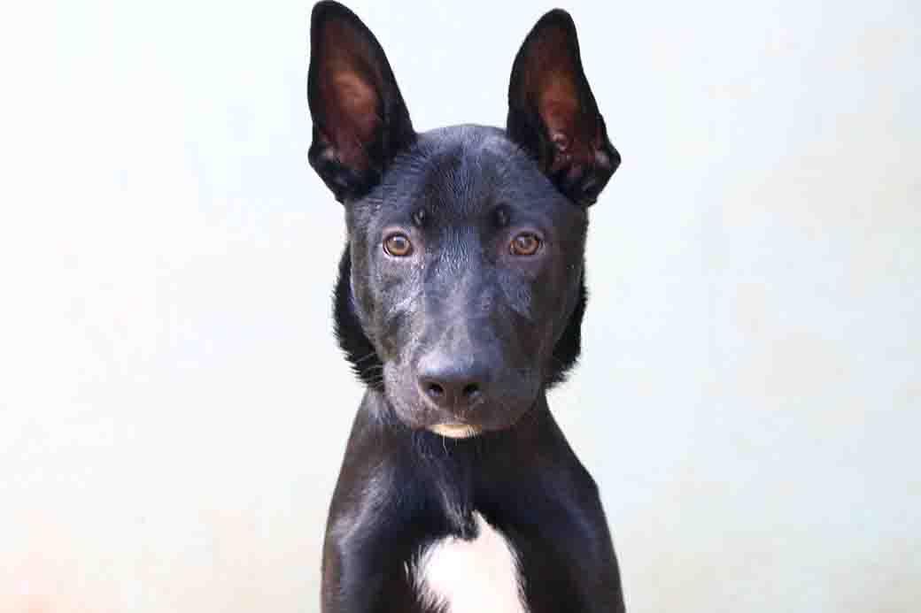 לייט - כלב לאימוץ - אגודת צער בעלי חיים בישראל