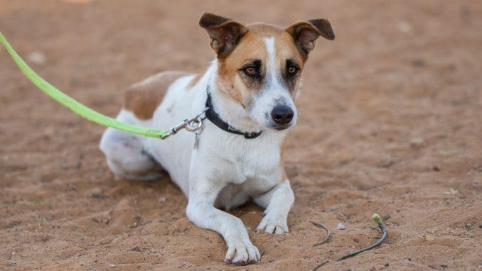 אמיגו - כלב לאימוץ - אגודת צער בעלי חיים בישראל