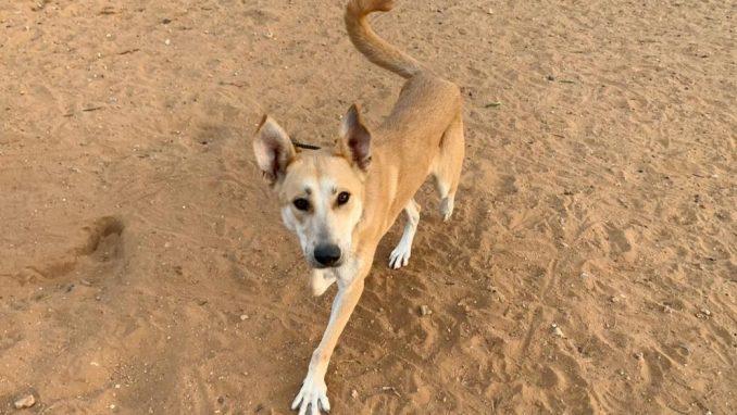 לורי - כלבה לאימוץ - אגודת צער בעלי חיים בישראל
