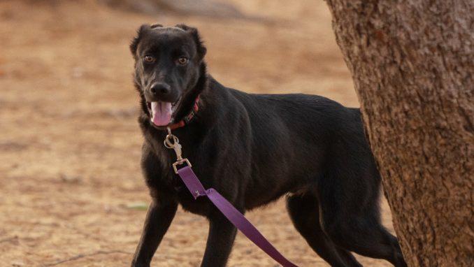 פלוקי - כלב לאימוץ - אגודת צער בעלי חיים בישראל