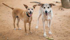 מרגו מוניק - כלבה לאימוץ - אגודת צער בעלי חיים בישראליים בישראל - צילום: אירה פרוחורוב