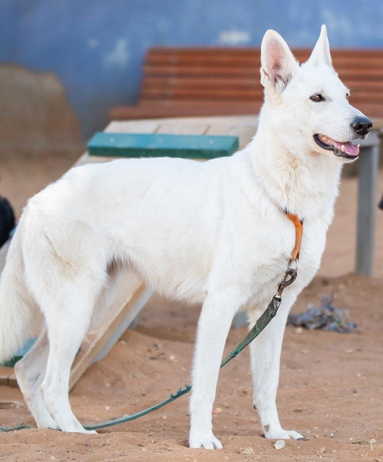 לבנה - כלבה לאימוץ - אגודת צער בעלי חיים בישראל - צילום: מאיה סיני