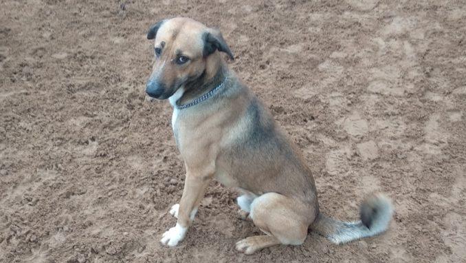 גולדי - כלב לאימוץ - אגודת צער בעלי חיים בישראל