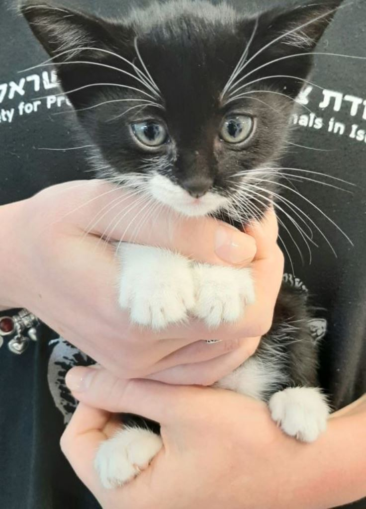 גורי חתולים - אגודת צער בעלי חיים בישראל - עיקור וסירוס במרפאה הווטרינרית