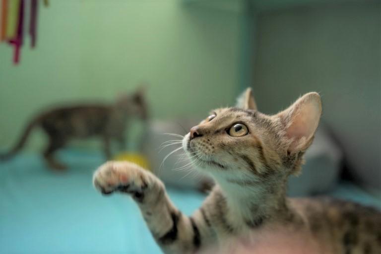 אולה - חתולה לאימוץ - אגודת צער בעלי חיים בישראל - צילום: רעי סולש