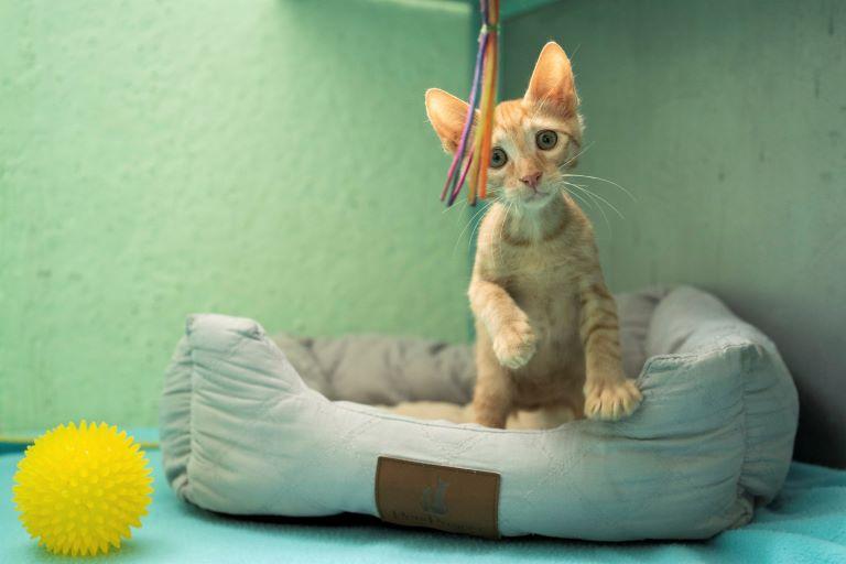 גזר - חתול לאימוץ - אגודת צער בעלי חיים בישראל - צילום: רעי סולש