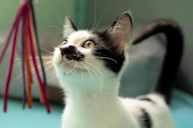 דמקה - חתול לאימוץ - אגודת צער בעלי חיים בישראל - צילום: רעי סולש
