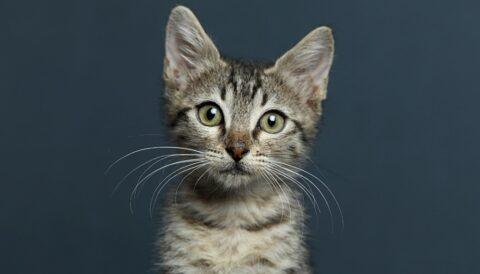 לוקי - חתול לאימוץ - אגודת צער בעלי חיים בישראל
