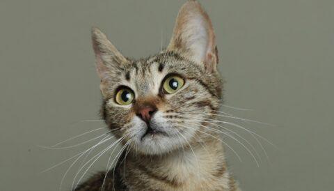 גריי - חתולה לאימוץ - אגודת צער בעלי חיים בישראל