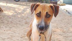 ג'אקס – כלב לאימוץ - אגודת צער בעלי חיים בישראל - צילום: אפרת מס