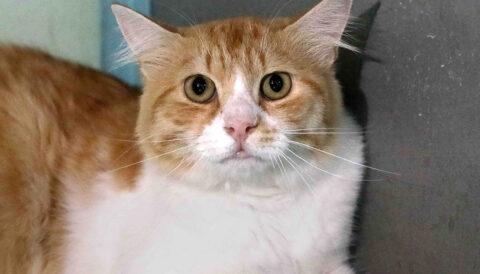 אלפי – חתול לאימוץ - אגודת צער בעלי חיים בישראל