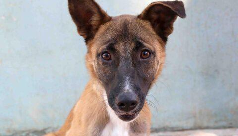 ז'אס - כלבה לאימוץ - אגודת צער בעלי חיים בישראל