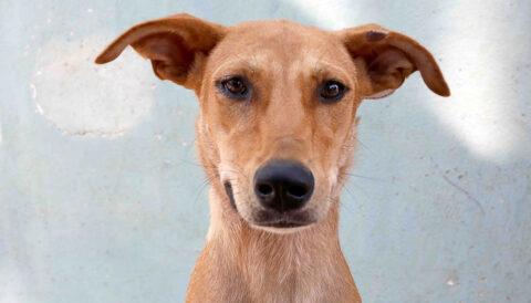 מיקה – כלבה לאימוץ - אגודת צער בעלי חיים בישראל