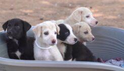 חילוץ גורי כלבים מכפר עוזייר - אגודת צער בעלי חיים בישראל - צילום Kiril panko