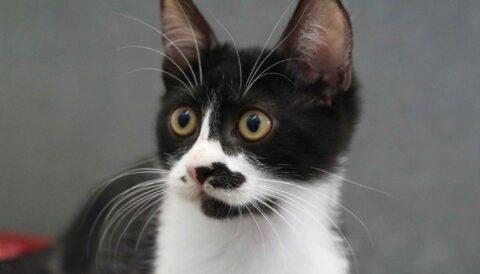 אפי –חתול לאימוץ - אגודת צער בעלי חיים בישראל